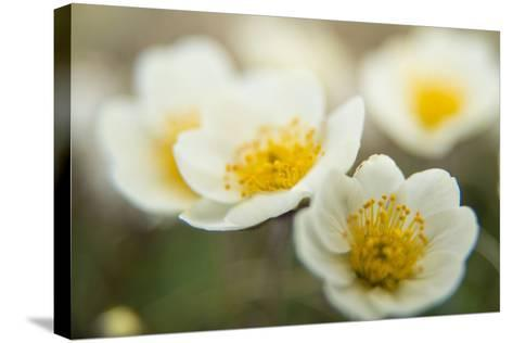 A Close Up of White Dryas Flowers-Michael Melford-Stretched Canvas Print
