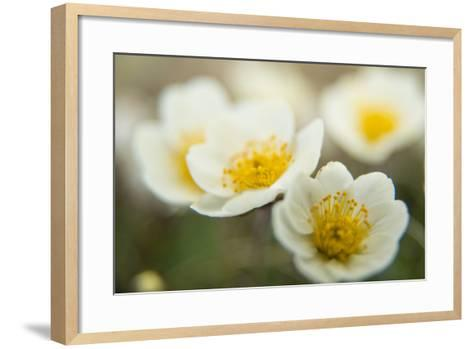 A Close Up of White Dryas Flowers-Michael Melford-Framed Art Print