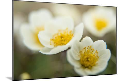 A Close Up of White Dryas Flowers-Michael Melford-Mounted Photographic Print