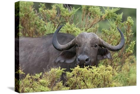 A Cape or African Buffalo, Syncerus Caffer, Hiding in the Bush-Sergio Pitamitz-Stretched Canvas Print