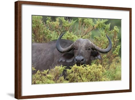 A Cape or African Buffalo, Syncerus Caffer, Hiding in the Bush-Sergio Pitamitz-Framed Art Print