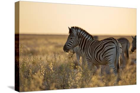 Plains Zebras, Equus Quagga, Stand in Tall Grassland at Sunset-Alex Saberi-Stretched Canvas Print