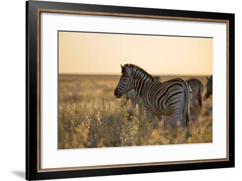 Plains Zebras, Equus Quagga, Stand in Tall Grassland at Sunset-Alex Saberi-Framed Art Print