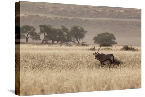 An Orix Grazing in the Namib-Naukluft National Park at Sunset-Alex Saberi-Stretched Canvas Print