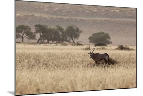 An Orix Grazing in the Namib-Naukluft National Park at Sunset-Alex Saberi-Mounted Photographic Print