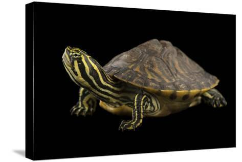 A Peninsula Cooter at the National Mississippi River Museum and Aquarium in Dubuque, Iowa-Joel Sartore-Stretched Canvas Print