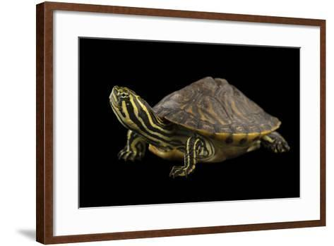 A Peninsula Cooter at the National Mississippi River Museum and Aquarium in Dubuque, Iowa-Joel Sartore-Framed Art Print