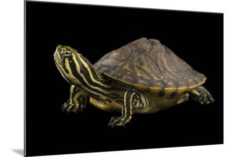 A Peninsula Cooter at the National Mississippi River Museum and Aquarium in Dubuque, Iowa-Joel Sartore-Mounted Photographic Print