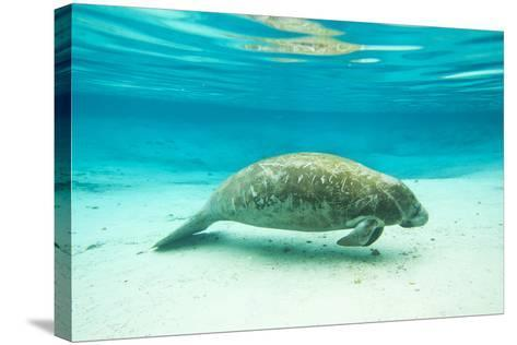 Portrait of a Florida Manatee in Clear Blue Water-Mike Theiss-Stretched Canvas Print