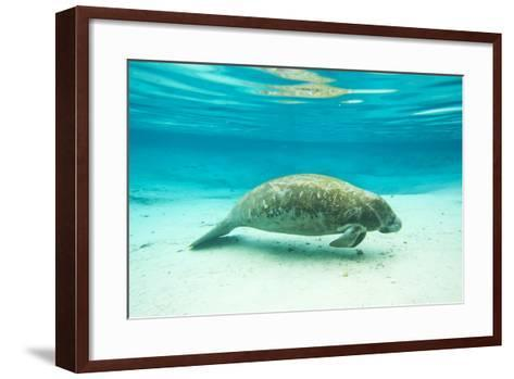 Portrait of a Florida Manatee in Clear Blue Water-Mike Theiss-Framed Art Print