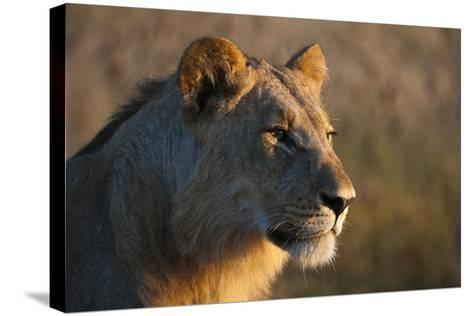 Close Up Portrait of a Young Male Lion, Panthera Leo-Sergio Pitamitz-Stretched Canvas Print