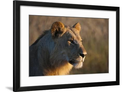 Close Up Portrait of a Young Male Lion, Panthera Leo-Sergio Pitamitz-Framed Art Print