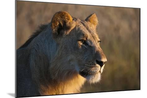 Close Up Portrait of a Young Male Lion, Panthera Leo-Sergio Pitamitz-Mounted Photographic Print