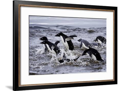 Adelie Penguins on Devil's Island in the Weddell Sea of Antarctica-Jim Richardson-Framed Art Print