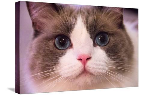 Close Up Portrait of a Blue-Eyed Cat Looking into the Camera-Stephen St^ John-Stretched Canvas Print
