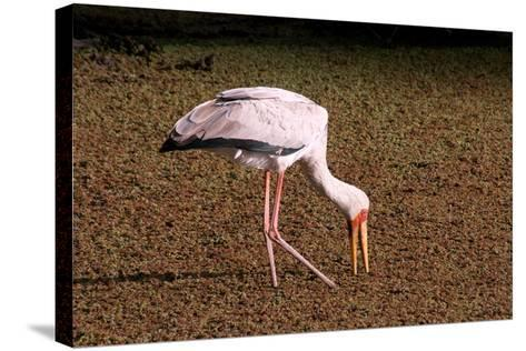 A Yellow Billed Stork Feeds in the Marshes, Sifting Through Vegetation with its Long Slender Beak-Shannon Switzer-Stretched Canvas Print
