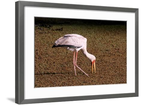 A Yellow Billed Stork Feeds in the Marshes, Sifting Through Vegetation with its Long Slender Beak-Shannon Switzer-Framed Art Print