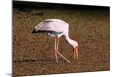 A Yellow Billed Stork Feeds in the Marshes, Sifting Through Vegetation with its Long Slender Beak-Shannon Switzer-Mounted Photographic Print