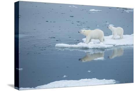 A Polar Bear and Cub Stand on Melting Pack Ice-Michael Melford-Stretched Canvas Print