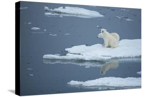 A Polar Bear and Cub on Pack Ice-Michael Melford-Stretched Canvas Print