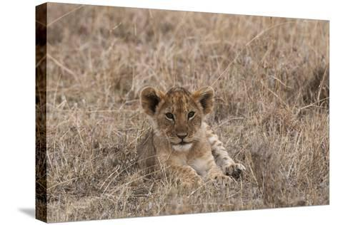 Portrait of a Lion Cub, Panthera Leo, Lying in the Grass-Sergio Pitamitz-Stretched Canvas Print