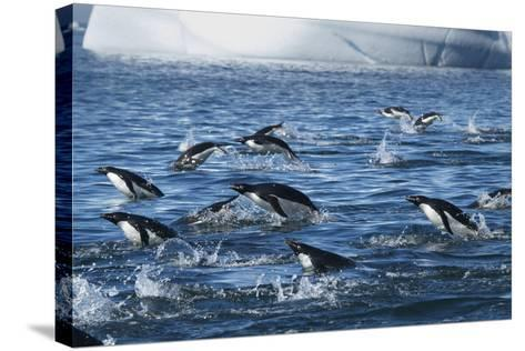 Adelie Penguins Swim in a Group Off of Paulet Island-Jim Richardson-Stretched Canvas Print