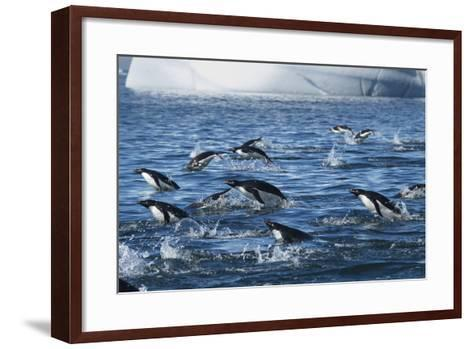 Adelie Penguins Swim in a Group Off of Paulet Island-Jim Richardson-Framed Art Print
