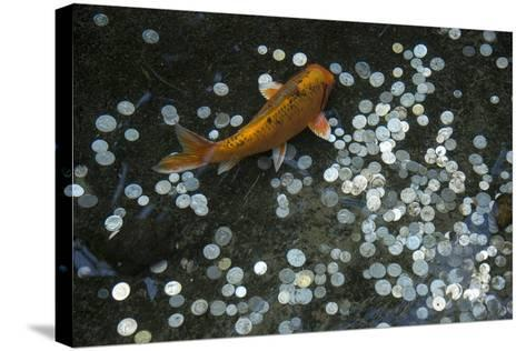 A Koi Fish Swims Above a Pile of Coins in a Pond-Joel Sartore-Stretched Canvas Print