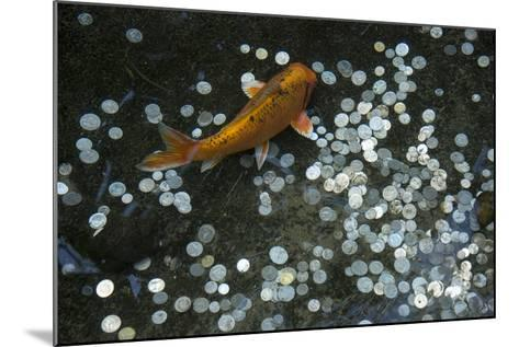 A Koi Fish Swims Above a Pile of Coins in a Pond-Joel Sartore-Mounted Photographic Print