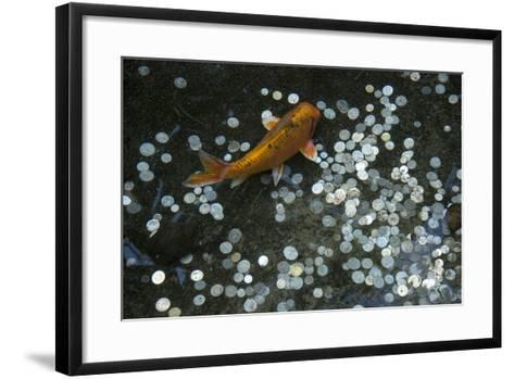 A Koi Fish Swims Above a Pile of Coins in a Pond-Joel Sartore-Framed Art Print