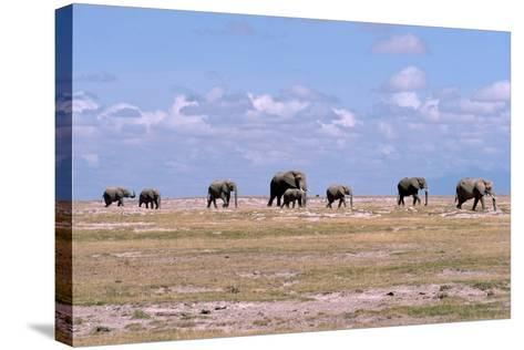 A Herd of Elephants Ambles in Line across the Plains in Amboseli National Park-Shannon Switzer-Stretched Canvas Print