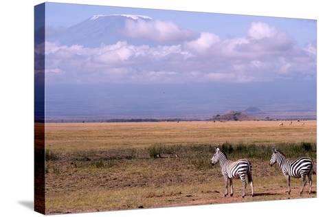 Mount Kilimanjaro Looms Above Zebras Razing in Amboseli National Park-Shannon Switzer-Stretched Canvas Print