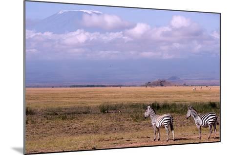 Mount Kilimanjaro Looms Above Zebras Razing in Amboseli National Park-Shannon Switzer-Mounted Photographic Print