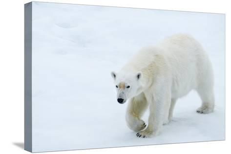 A Polar Bear Walking on Ice-Michael Melford-Stretched Canvas Print