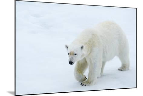 A Polar Bear Walking on Ice-Michael Melford-Mounted Photographic Print