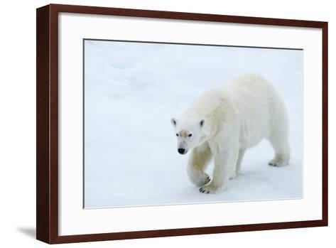 A Polar Bear Walking on Ice-Michael Melford-Framed Art Print