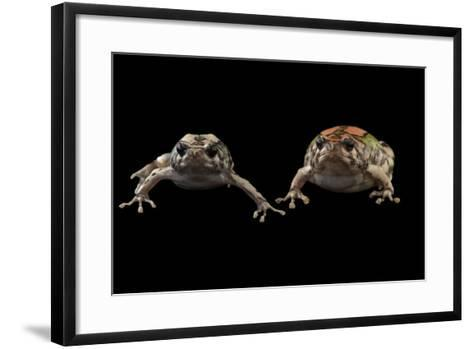 Endangered Malagasy Rainbow Frogs at the National Mississippi River Museum and Aquarium-Joel Sartore-Framed Art Print
