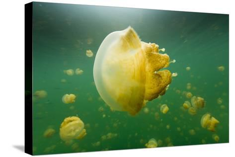 Golden Jellyfish Float in Jellyfish Lake, a Freshwater Lake on Palau-Michael Melford-Stretched Canvas Print