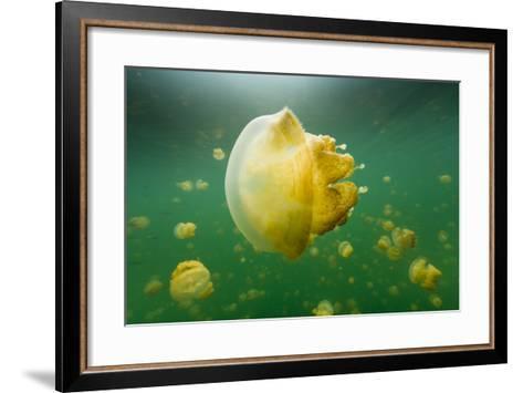 Golden Jellyfish Float in Jellyfish Lake, a Freshwater Lake on Palau-Michael Melford-Framed Art Print