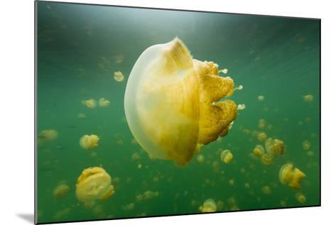 Golden Jellyfish Float in Jellyfish Lake, a Freshwater Lake on Palau-Michael Melford-Mounted Photographic Print