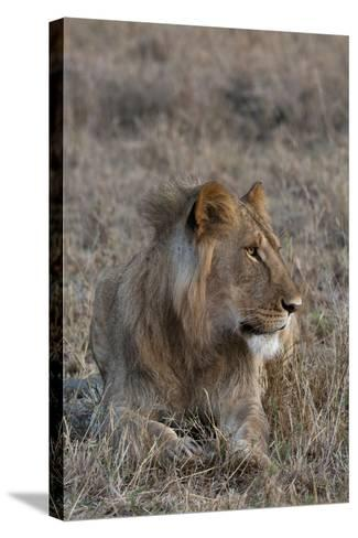 Portrait of a Male Lion, Panthera Leo, at Rest-Sergio Pitamitz-Stretched Canvas Print