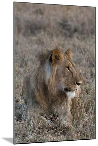Portrait of a Male Lion, Panthera Leo, at Rest-Sergio Pitamitz-Mounted Photographic Print