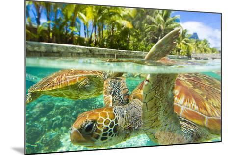 Close Up of Green Sea Turtles While Swimming with Them at the Le Meridien Resort-Mike Theiss-Mounted Photographic Print