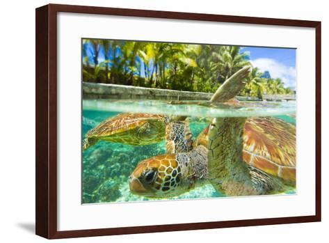 Close Up of Green Sea Turtles While Swimming with Them at the Le Meridien Resort-Mike Theiss-Framed Art Print