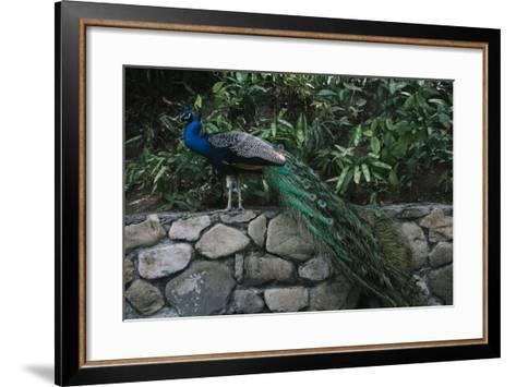 A Peacock in the Coyaba Gardens in Jamaica-Matt Propert-Framed Art Print