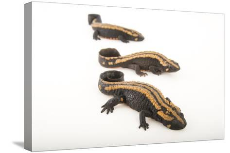 Laos Warty Newts at the National Mississippi River Museum and Aquarium-Joel Sartore-Stretched Canvas Print