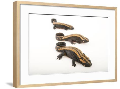 Laos Warty Newts at the National Mississippi River Museum and Aquarium-Joel Sartore-Framed Art Print