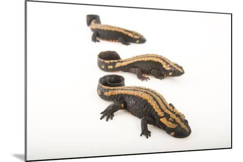 Laos Warty Newts at the National Mississippi River Museum and Aquarium-Joel Sartore-Mounted Photographic Print