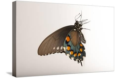 A Pipevine Swallowtail, Battus Philenor, a Native to Nebraska, at the Lincoln Children's Zoo-Joel Sartore-Stretched Canvas Print