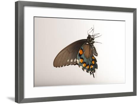A Pipevine Swallowtail, Battus Philenor, a Native to Nebraska, at the Lincoln Children's Zoo-Joel Sartore-Framed Art Print